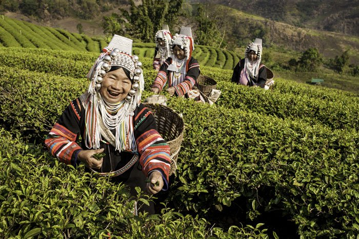 Akha Tea Pickers photographed during a Chiang Mai Photography Workshop